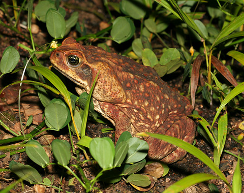 Cane Toad (Bufo marinus) in Costa Rica