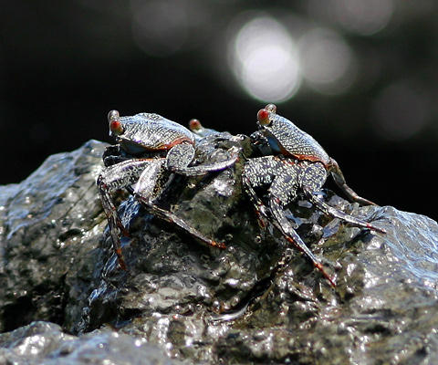 Pacific coast rock crabs in Costa Rica