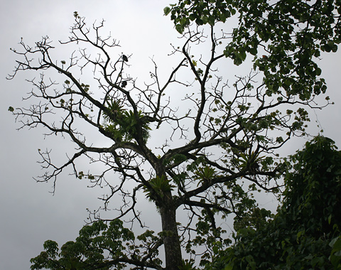 Leafless tree with large epiphytes in Costa Rica