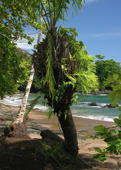Epiphytic ferns in a palm in Costa Rica