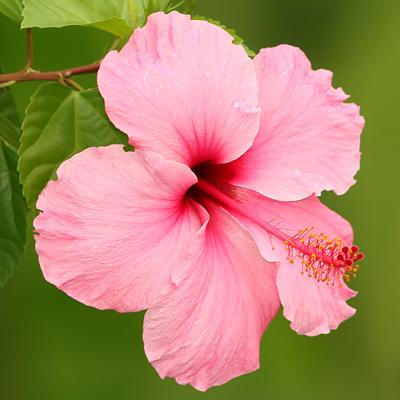 Tropical Hibiscus (Hibiscus rosa-sinensis) flower