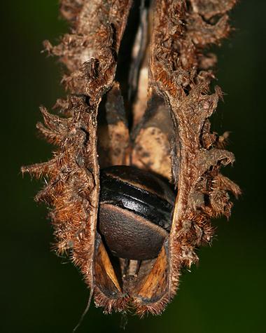 Jungle seed pod in Costa Rica