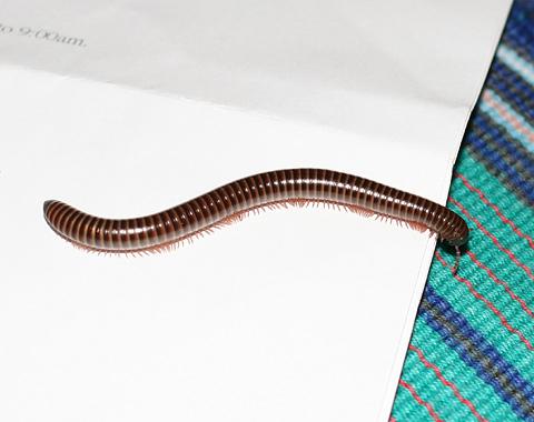 Millipede (Class Diplopoda) in Costa Rica