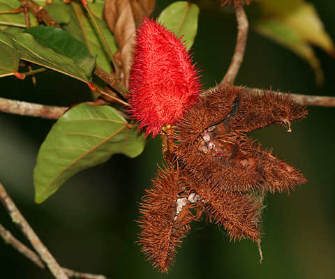 Fruit of a Lipsticktree (Bixa orellana) in Costa Rica