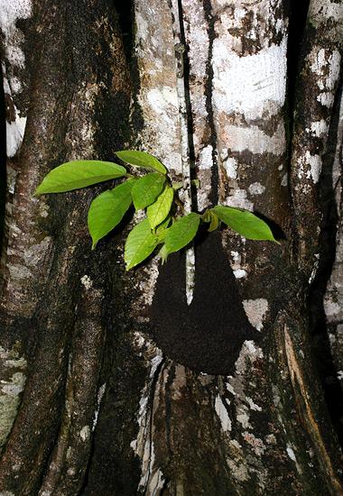 Small arboreal termite nest in Costa Rica