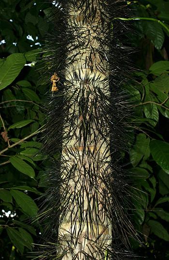 Spiny trunk of a Costa Rican monkey-no-climb palm tree