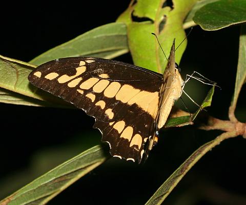 Thoas Swallowtail (Papilio thoas) in Costa Rica