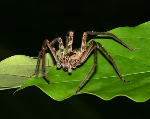 Wolf Spider (Family Lycosidae) in Costa Rica