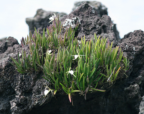Lady of the Night Orchids (Brassavola nodosa) growing on a rock