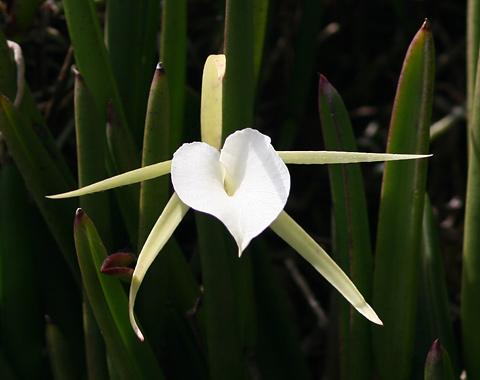 Lady of the Night Orchid (Brassavola nodosa)