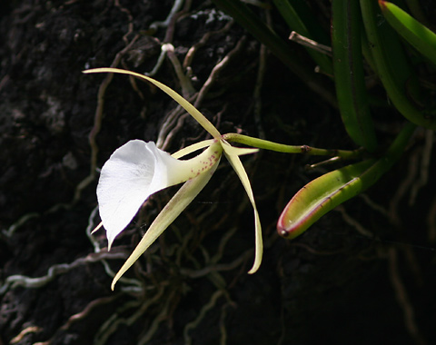 Lady of the Night Orchid (Brassavola nodosa)