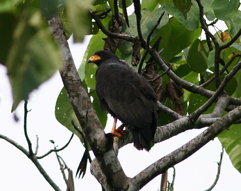 Common Black-hawk (Buteogallus anthracinus)