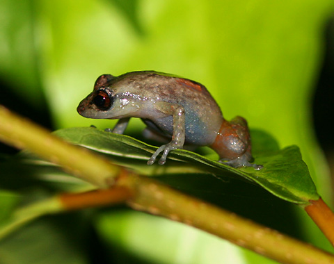 Dink Frog or Common Tink Frog (Eleutherodactylus diastema) in Costa Rica