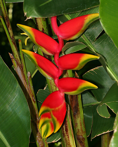 False Bird of Paradise, Hanging Heliconia, or Lobster Claw (Heliconia rostrata)