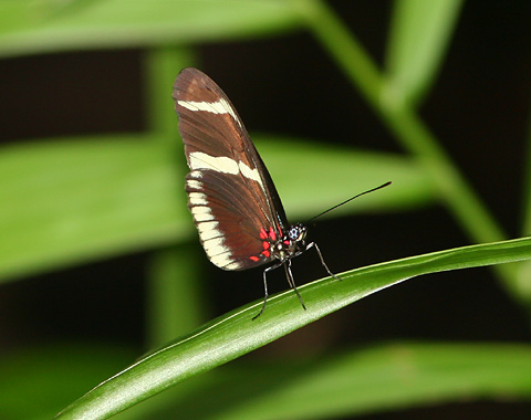 Sara Longwing (Heliconius Sara Theudela) butterfly in Costa Rica