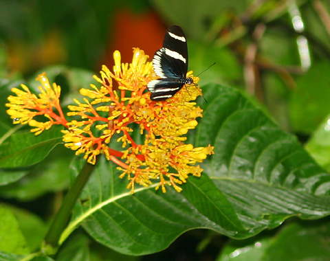 Sara Longwing (Heliconius Sara Theudela) butterfly on Palicourea flowers