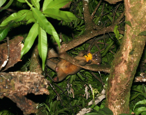 Kinkajou (Potos flavus) in Costa Rica