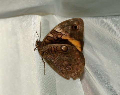 Female Split-banded Owlet (Opsiphanes cassina fabricii) butterfly