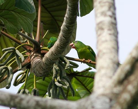 Orange-chinned Parakeet (Brotogeris jugularis) in Costa Rica
