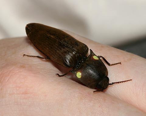 Fire Beetle or Cucujo (Pyrophorus noctilucus)
