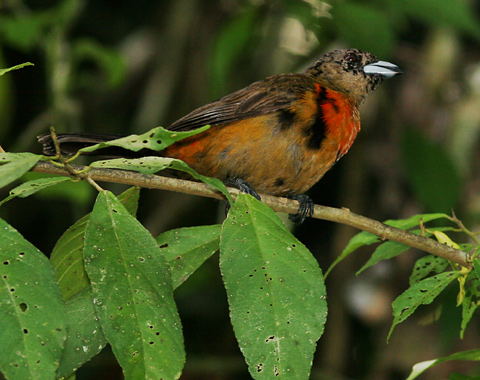 Immature male Cherrie's Tanager (Ramphocelus costaricensis)