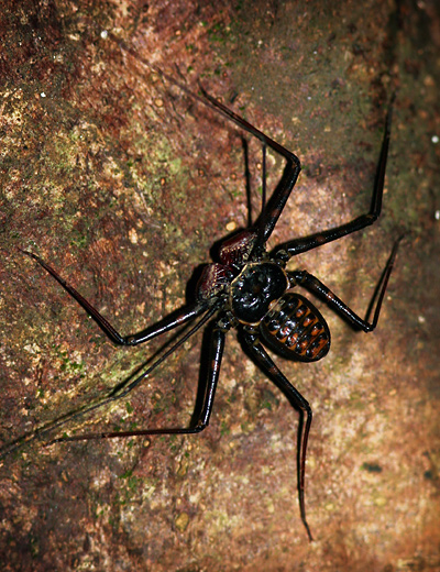 Tailless Whipscorpion (Family Phrynidae) in Costa Rica