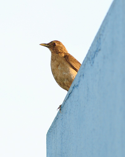 Clay-colored Robin (Turdus grayi), the Costa Rican National Bird