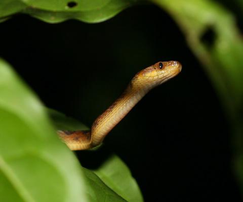 Cat-eyed Snake (Leptodeira septentrionalis)