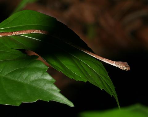 Chunk-headed Snake or Blunt-headed Treesnake (Imantodes cenchoa)