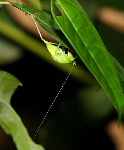 Yellow-green katydid with red eyes in Costa Rica