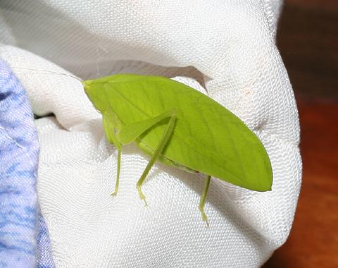 Leaflike katydid in Costa Rica