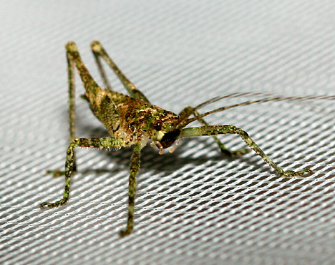 Katydid nymph in Costa Rica