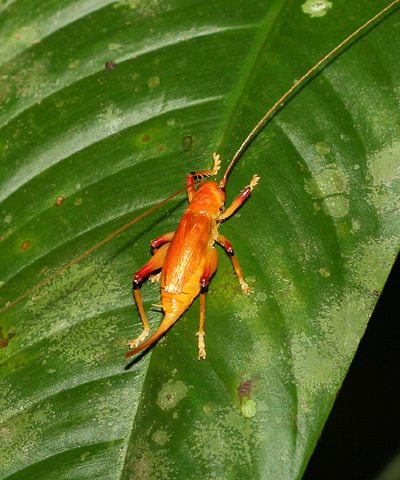Orange cricket in Costa Rica
