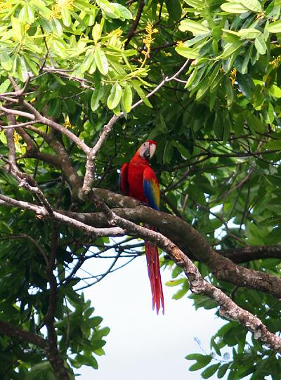 Wild Scarlet Macaw (Ara macao) in Costa Rica