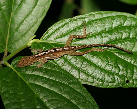 Anole (Family Polychrotidae) sleeping on a leaf