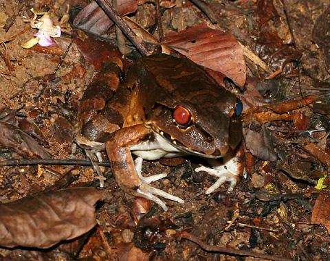 Smoky Jungle Frog (Leptodactylus pentadactylus) in Costa Rica