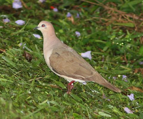 White-tipped Dove (Leptotila verreauxi)