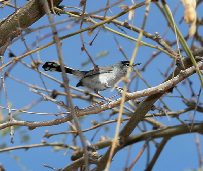 Breeding male Black-tailed Gnatcatcher (Polioptila melanura)