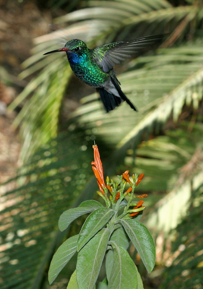 Male Broad-billed Hummingbird (Cynanthus latirostris)