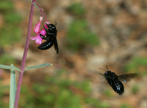 Carpenter Bees (Xylocopa species) at Parry's Beardtongue or Parry's Penstemon (Penstemon parryi) flowers