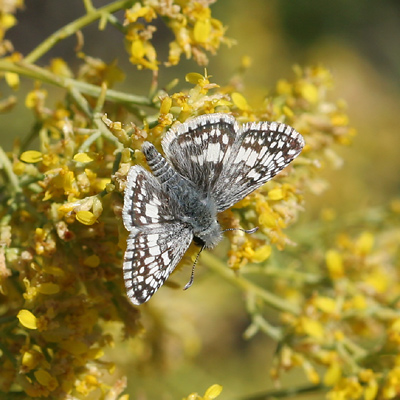 Male Common Checkered-Skipper (Pyrgus communis)
