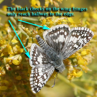 Wing detail of male Common Checkered-Skipper (Pyrgus communis)