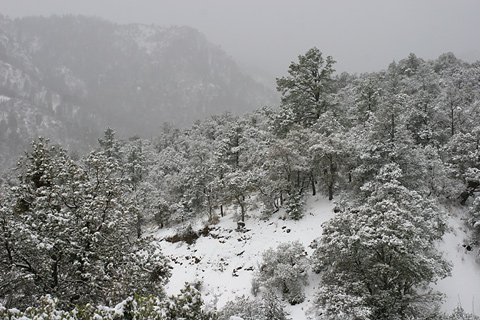 Snow in the Chiricahua Mountains, March 12, 2006