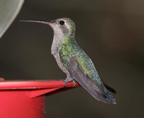 Female Broad-billed Hummingbird (Cynanthus latirostris)