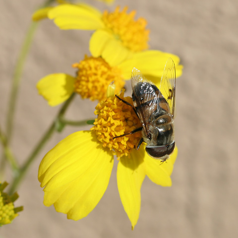 Eristalis Fly (Eristalis species) on a Goldenhills or Brittlebush (Encelia farinosa) flower