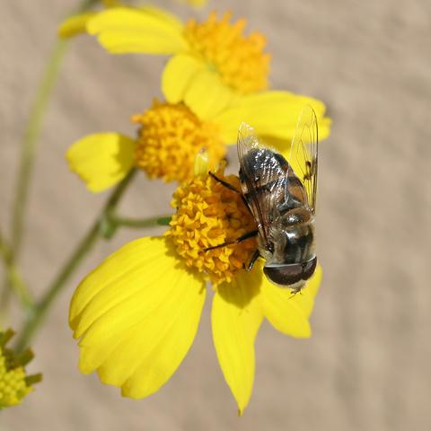Eristalis Fly (Eristalis species) on a Goldenhills or Brittlebush (Encelia farinosa) flower
