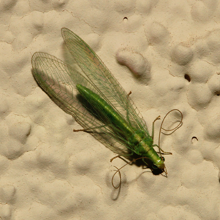 Green Lacewing (Family Chrysopidae) with curled antennae
