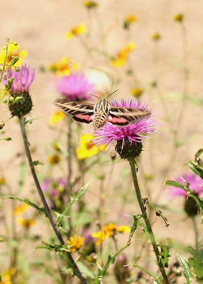 Daytime White-lined Sphinx (Hyles lineata) moth hovering before a thistle flower