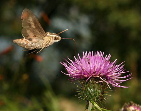 Daytime White-lined Sphinx (Hyles lineata) moth sipping nectar from a thistle flower