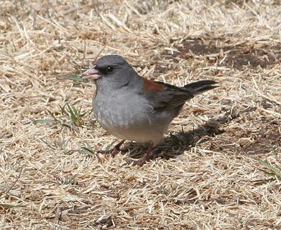 Dark-eyed Junco, Gray-headed Form (Junco hyemalis)